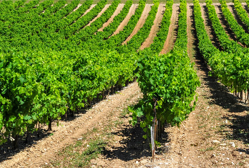 Image of French vineyard